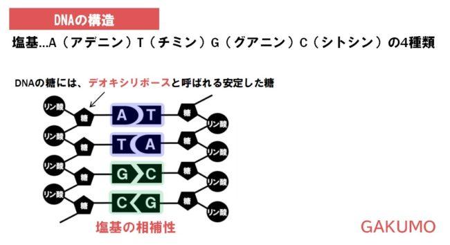 dnaの構造のポイント