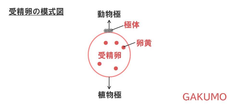 受精卵の模式図