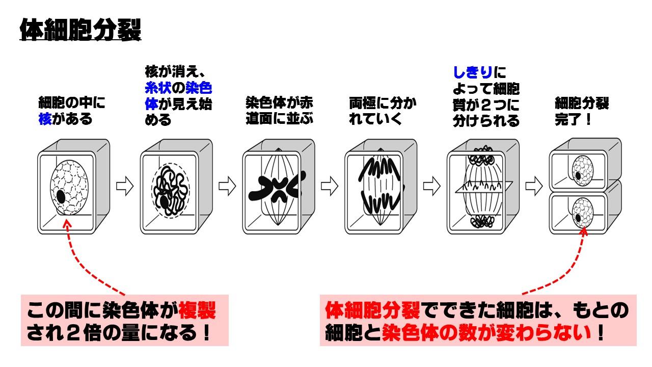 体細胞分裂のプロセス