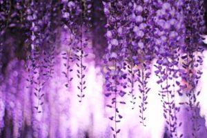 福岡の藤棚スポットの写真